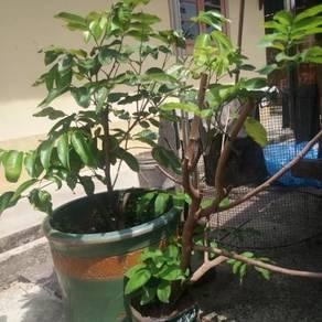 Pokok Longgan