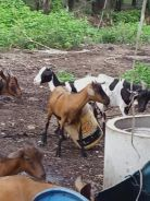3 Ekor ibu kambing