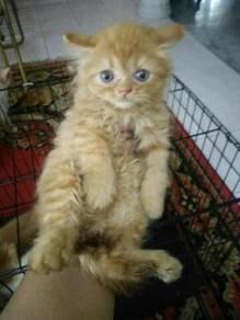 Pure semiflat kitten / anak kucing comel