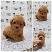 Cute tiny toy poodle