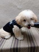 Toy Poodle Cream Color