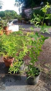 Pokok rerama hijau, pokok pandan, pokok kari
