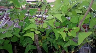 Pokok Herba RamaRama