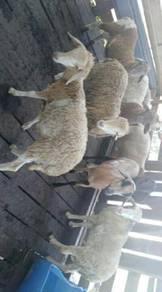 Biri² dan kambing cukup umur
