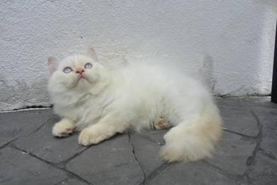 Persian Kitten 1