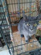 BSH cat female 7months