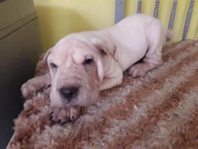 3 months Shar-pei Male Puppies