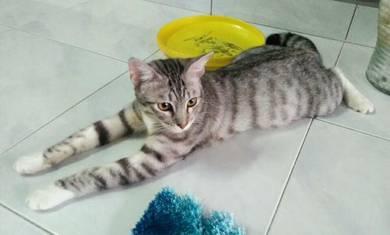 Kucing Bengal Siberian Stokin Putih