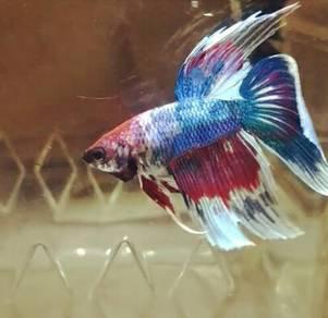 Ikan laga betta HALFMOON FANCY