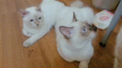 Siam white cats