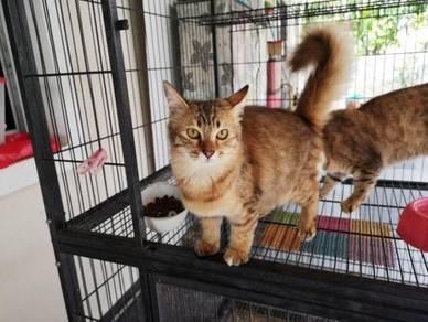Kitten DSH Betina shorthair
