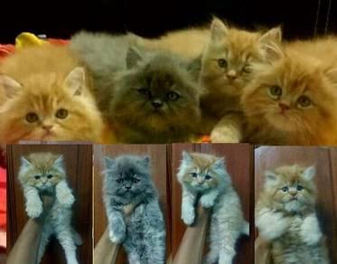 Kittens persian semi flat face