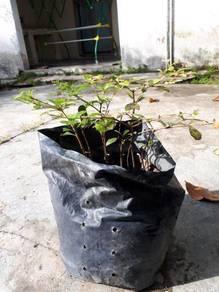 Anak Pokok Bucida Hijau