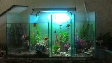 Fish tank flower horn