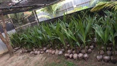 Bibit kelapa tacunan