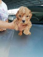 Poodle for sell