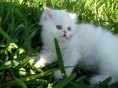Persian kitten pure white BLUE EYES