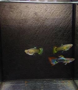 Ikan guppy GREEN DRAGON