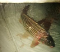 Ikan Common Cup