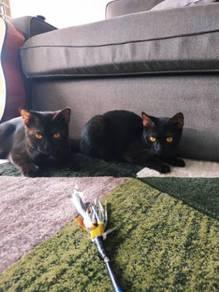 Kucing Hitam Black Cat