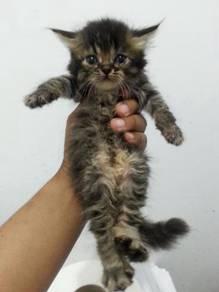 Cute Female kitten Available