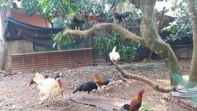 Ayam kampung jantan dijual sekilo 17