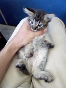 Mix mainecoon kitten