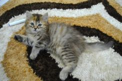 Mix Persian kitten