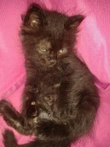 Kitten parsian 1.5 bulan