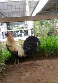 Ayam 012-898 1899
