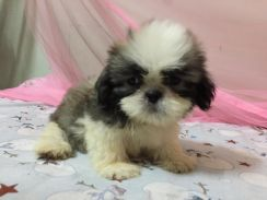 Pure male Shih tzu