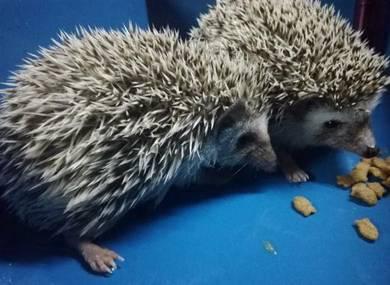 Landak Mini Hedgehog Betina