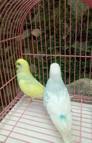 Burung Baji Budgie Induk/Matang