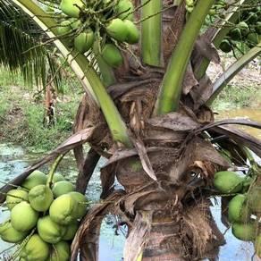 Bibit kelapa pandan