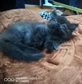 Munchkin supershort kitten / anak kucing munchkin