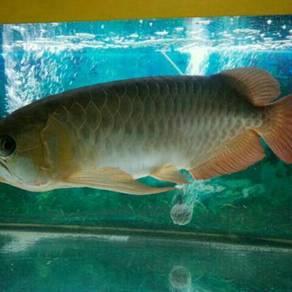 Ikan kelisa red cili