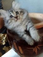 Persian for sale
