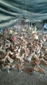 Reban ayam dan ayam kacuk