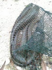 Ikan haruan hidup