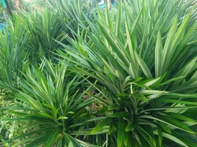 (1 pohon) benih pandan wangi