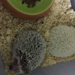 Hedgehog sepasang n complete set