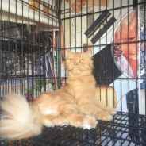 Kucing persian betina