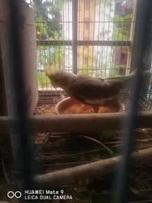 Burung cockateil