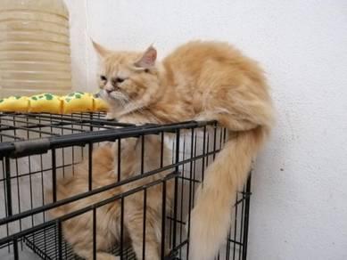 Kucing semiflat
