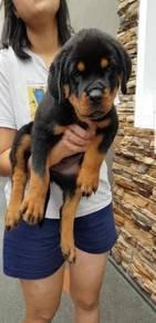 Quality Female rottweiler puppy