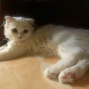 Scotich cat for sale