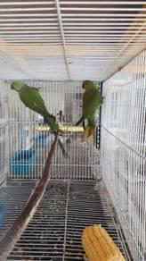 Burung ring neck hijau pair matang siap lesen