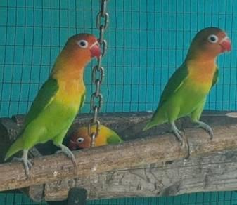 Love bird/Lovebird/LB