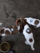 Pure Jack Russell Puppies - 2 female 1 male