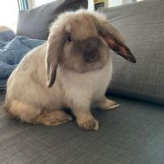 Holland lop for sale